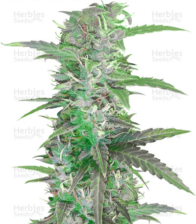 Buy Auto Speed Bud feminized seeds