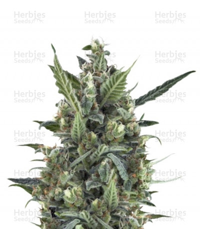 Buy Blue Cheese Automatic feminized seeds