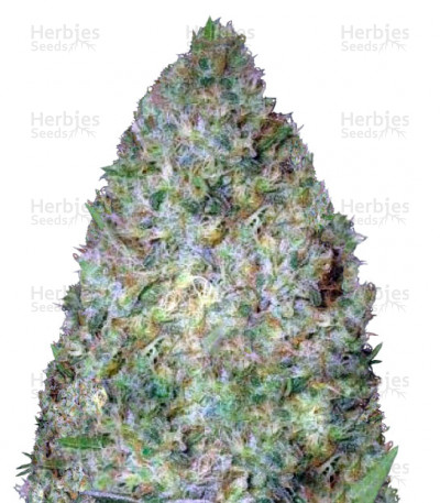 Buy Chronic Monster XXL feminized seeds