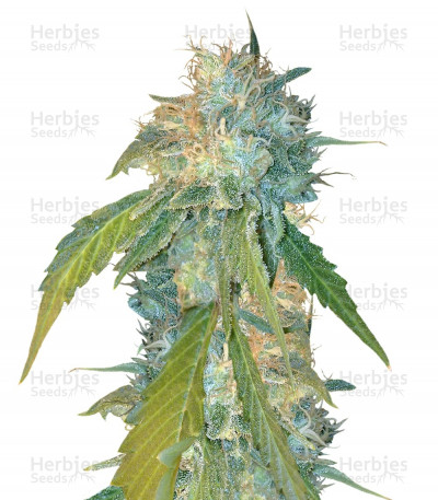 Buy Yumbolt 47 feminized seeds