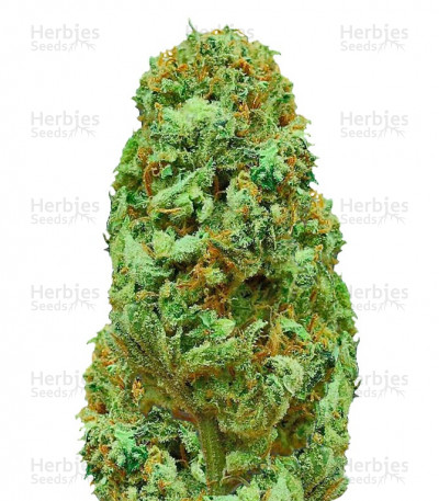 Buy Amnesia Ganja Haze regular seeds
