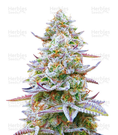 Buy Gorilla Zkittlez feminized seeds