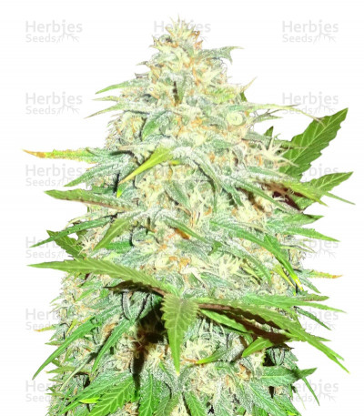Buy Cali Gangsta Kush feminized seeds