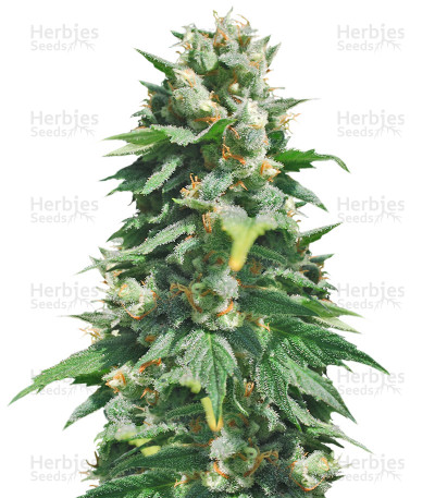 Buy Santa Maria Auto feminized seeds