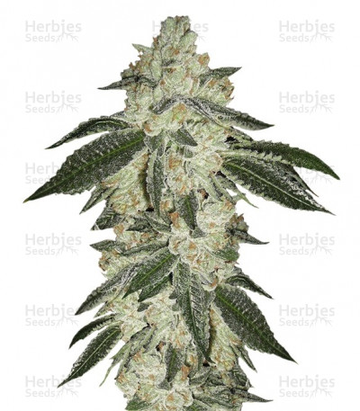 Buy Green Crack Auto feminized seeds