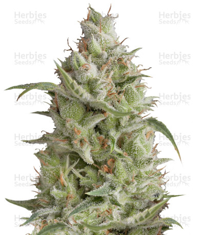 Buy Sumo's OG Kush Auto feminized seeds