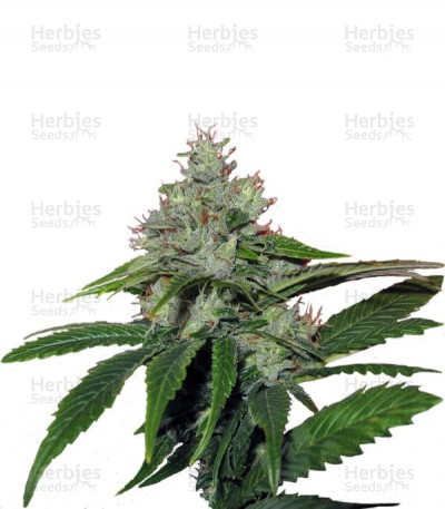 Buy Train Wreck feminized seeds