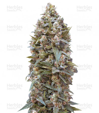Buy Auto 00 Kush feminized seeds