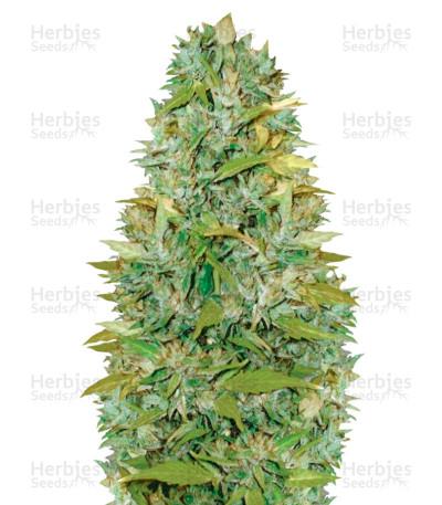 Buy Auto Biggest Bud feminized seeds