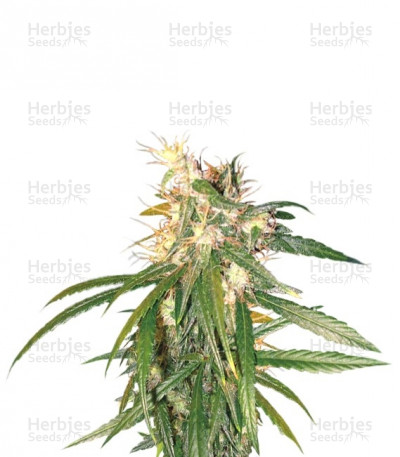 Buy Hashplant Haze regular seeds