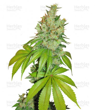Buy Kushberry feminized seeds
