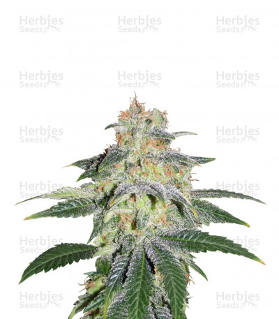 Buy Russian Doll feminized seeds