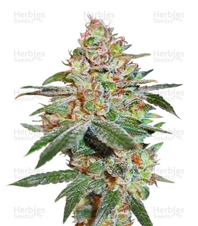 Buy Skunk XXX regular seeds