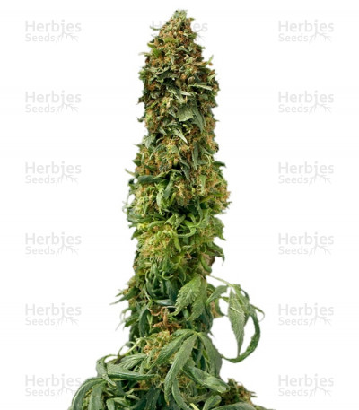 Buy Sweet Tooth Auto fem seeds
