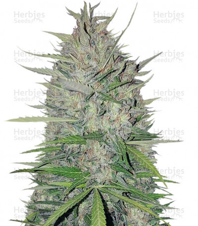 Buy White Widow Original feminized seeds