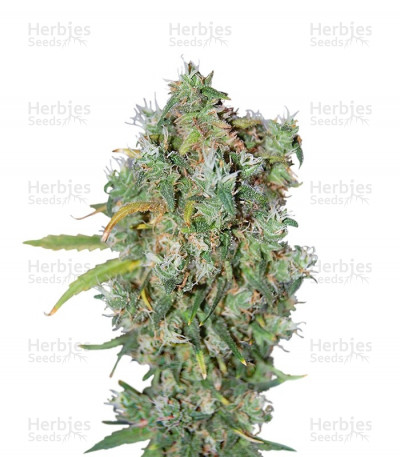 Buy Burmese Kush regular seeds