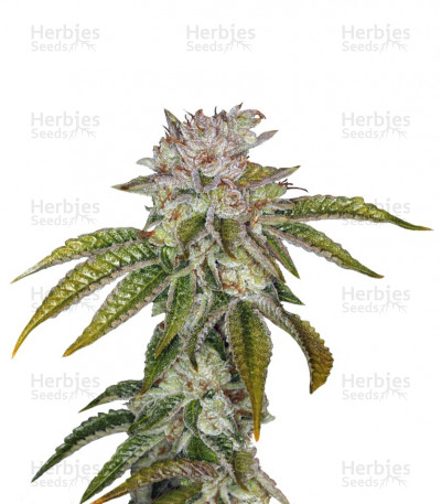 Buy MK Ultra feminized seeds