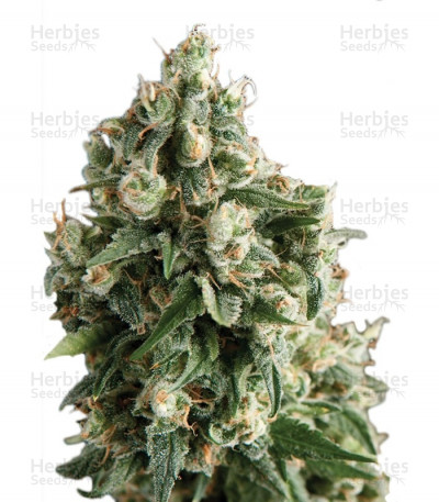 Buy Auto Lennon feminized seeds