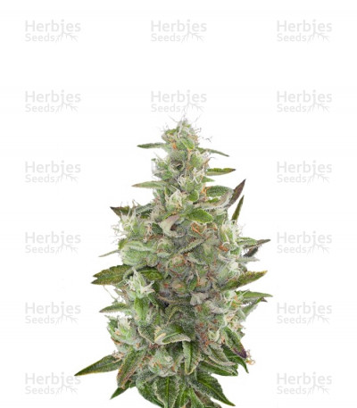Buy Cheese Autoflowering feminized seeds