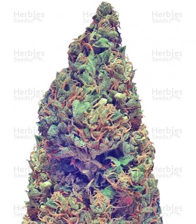 Buy Deep Purple Haze Auto feminized seeds