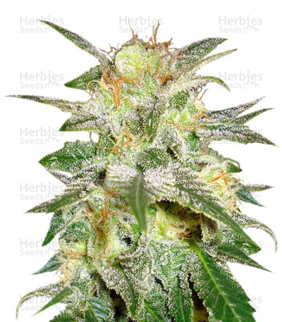 Buy New York 47 feminized seeds