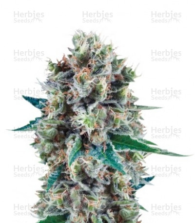 Buy Bubble Kush Automatic feminized seeds