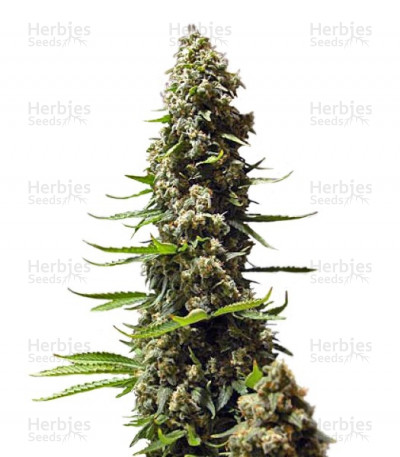Buy Serious 6 feminized seeds