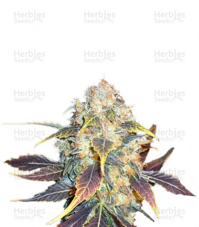 Buy White Berry feminized seeds