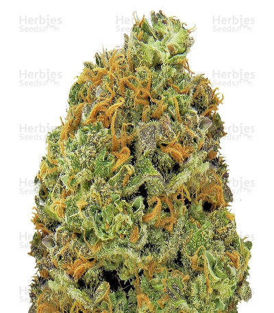 Buy Wipeout Express Auto feminized seeds