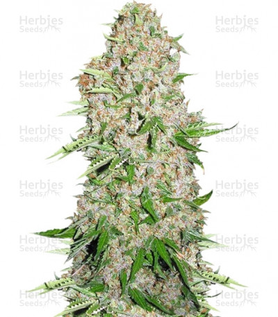 Buy Skunk Special feminized seeds