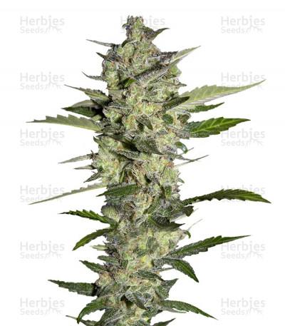 Buy Flowerbomb Kush feminized seeds