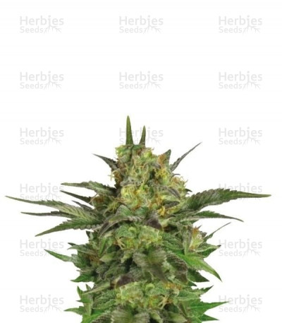 Buy Haze Berry feminized seeds