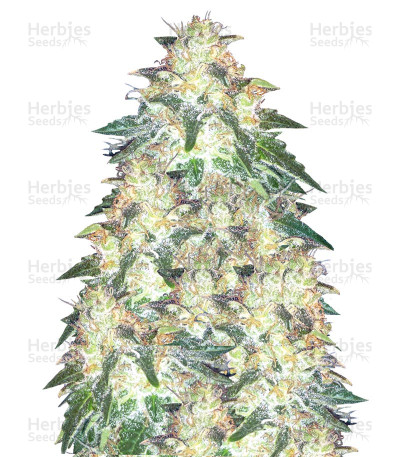 Buy Russian Snow feminized seeds