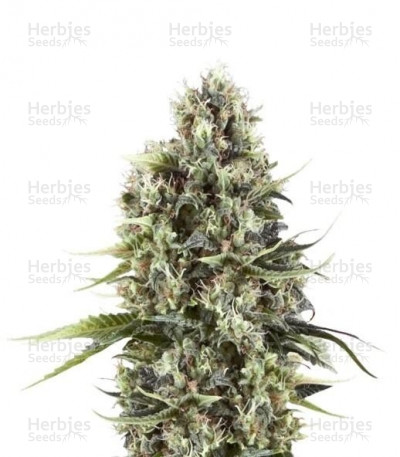 Buy Chocolate Haze feminized seeds