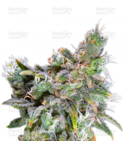 Buy Magic Bud feminized seeds