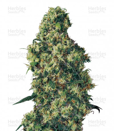 Buy Dulce De Leche Auto feminized seeds