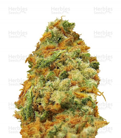 Buy Indian Kush feminized seeds