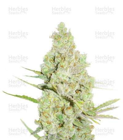 Buy 1024 feminized seeds