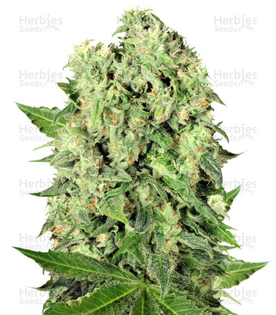 Buy Dutch Cheese regular seeds