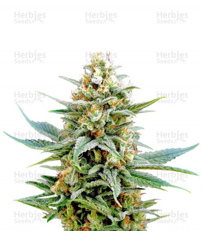 Buy Kritikal-K feminized seeds