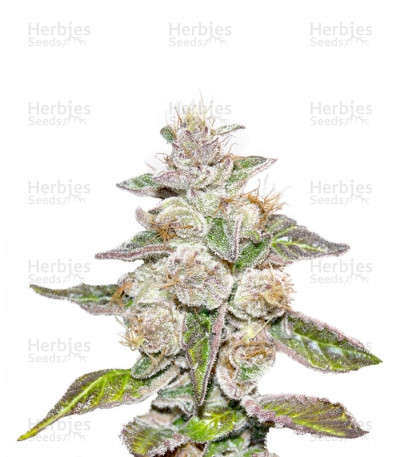 Buy Mendocino Purple Kush feminized seeds