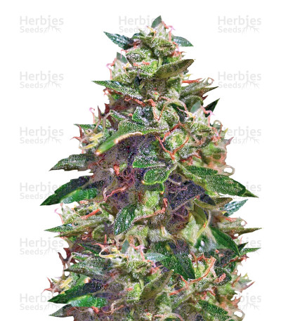 Buy Amnesia Haze Auto feminized seeds