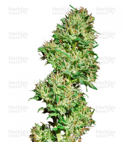 Buy Utopia Haze feminized seeds