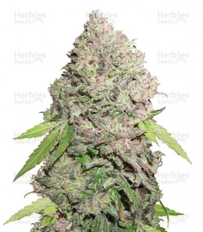 Buy CBD Charlotte's Angel feminized seeds