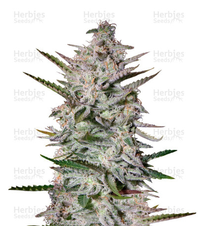 Buy Holy Punch feminized seeds