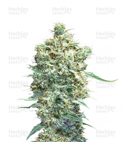 Buy Auto Afghani feminized seeds