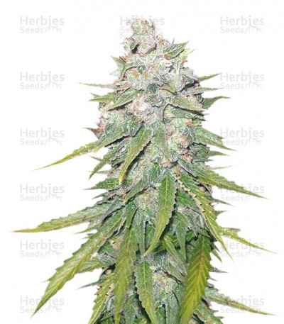 Buy Mazar X Great White Shark feminized seeds