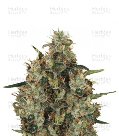 Buy Medical Mass CBD feminized seeds