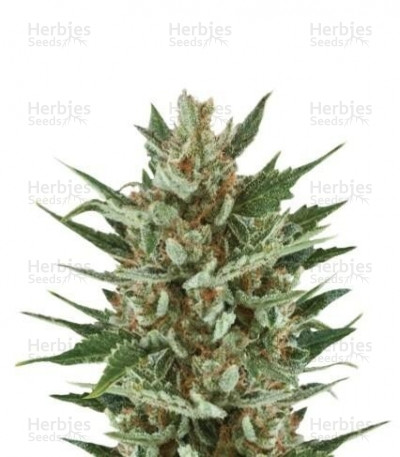 Buy Speedy Chile (Fast Flowering) feminized seeds