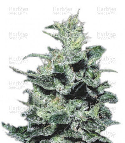 Buy Nebula feminized seeds